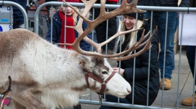 Meet Real Reindeer